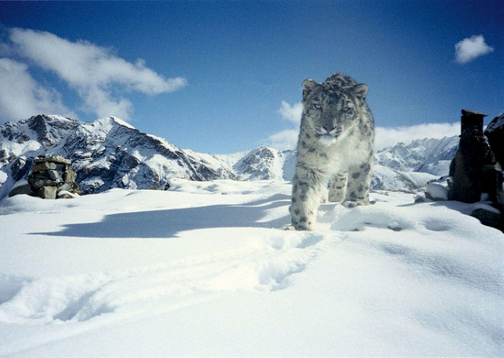 Snow leopard at Hemis National Park, India