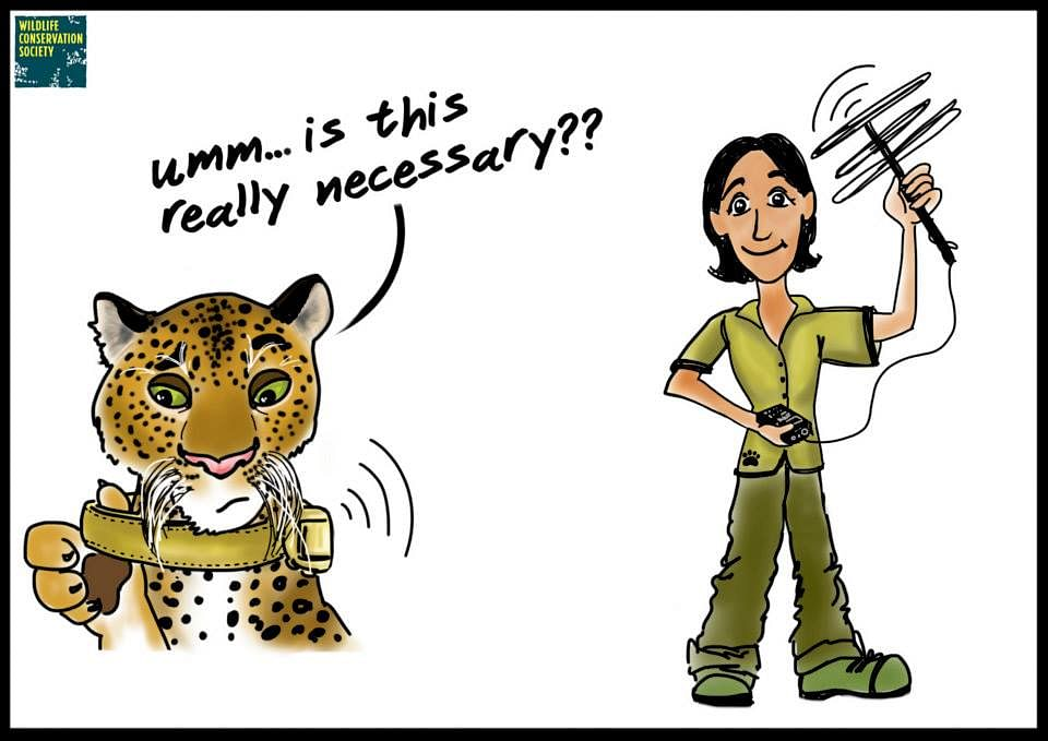 Leopard biologist Dr. Vidya Athreya put a radio-collar on the big cat. She named him 'Ajoba' meaning 'grandfather'. Thus, Ajoba became the subject of one of the most interesting scientific projects in the field of wildlife in India.