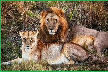 lion_f