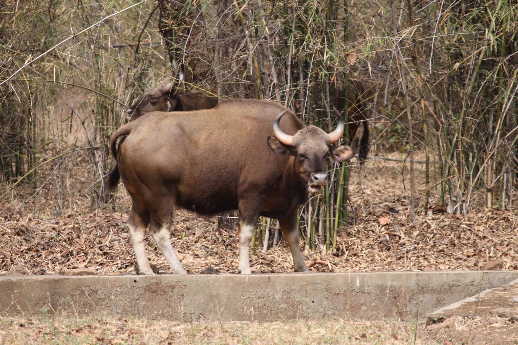 An Indian Gaur