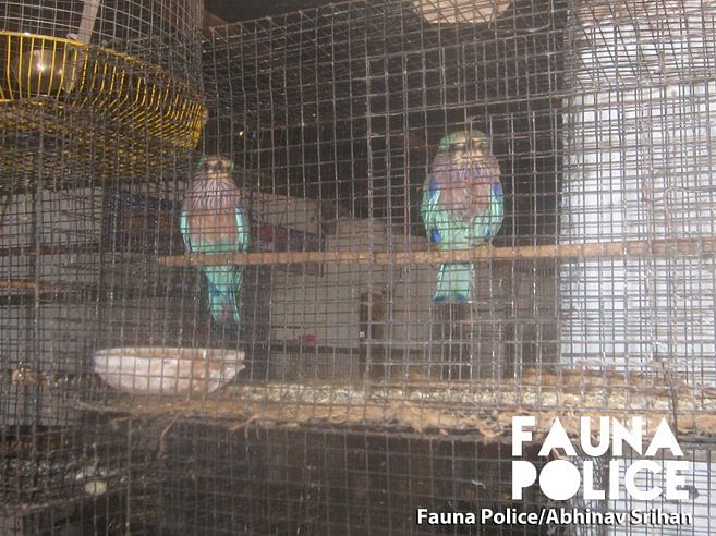 The birds are hard to feed and this is why they starve for many days when they are kept in a cage.