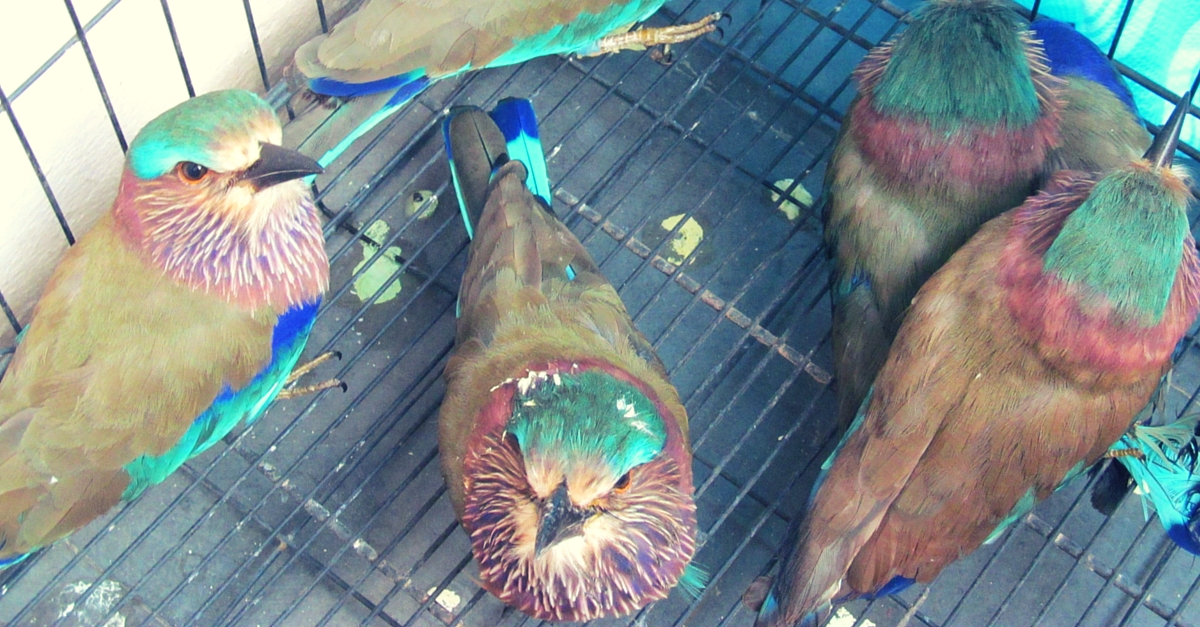A Dussehra Superstition Is Killing This Beautiful Bird. Here's How We Can Save It.