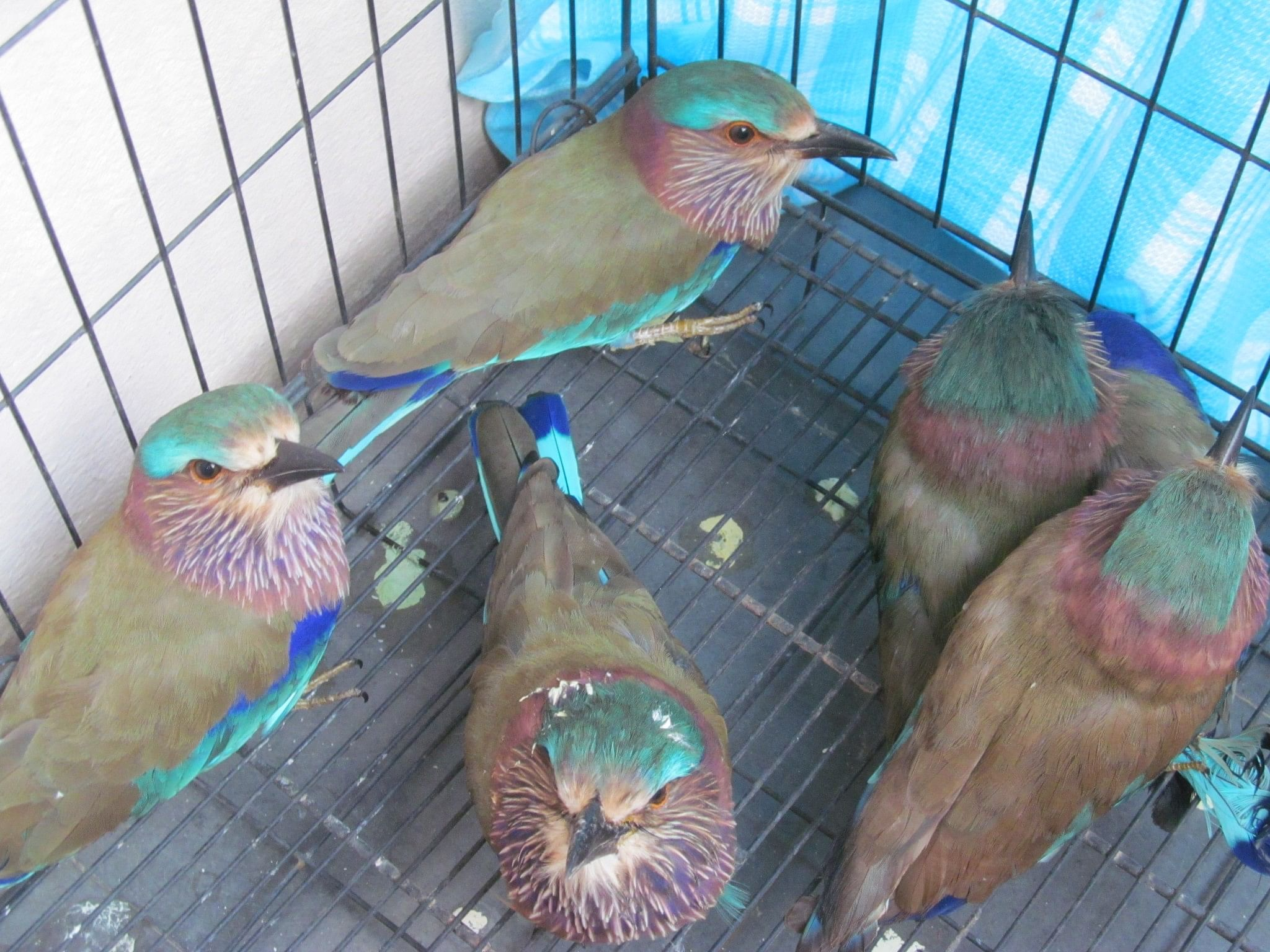 The miserable manner in which these birds are treated after their capture, makes it very rare for them to survive,