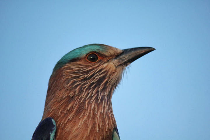 Indian Rollers do not migrate, although they do make seasonal movements in search of food.