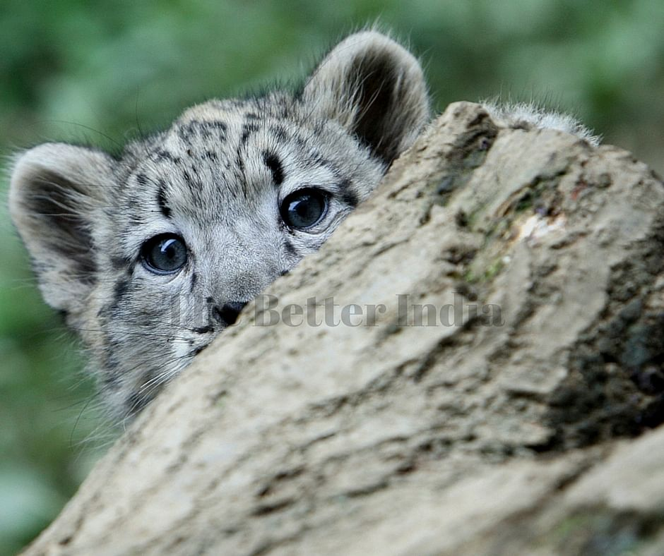 Snow Leopard is a rare specie.
