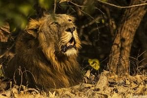 A male Asiatic lion resting under a tree
