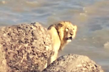 lion rescued