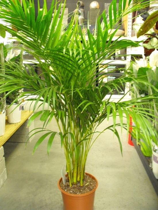 10 indoor plants that you can grow in your house right now for Pictures of areca palm plants