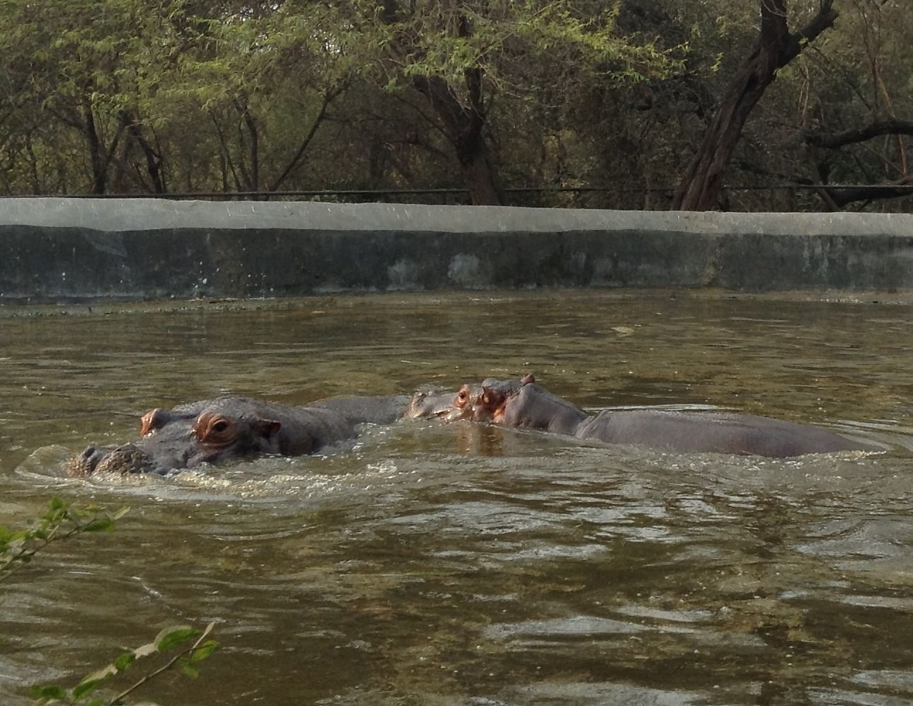 The Hippopotomus