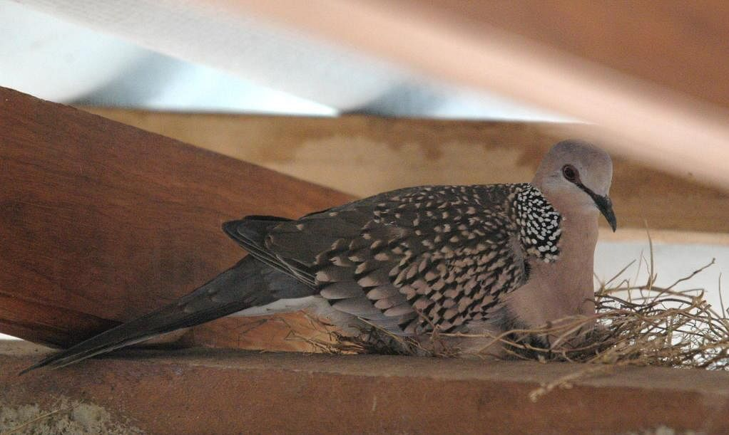 Spotted Dove in the nest on the rafts Photo credit : www.photos.raditha.com