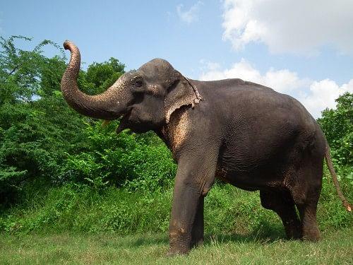 Bhola the Asian Elephant