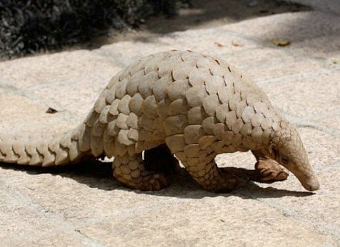 Indian Pangolin