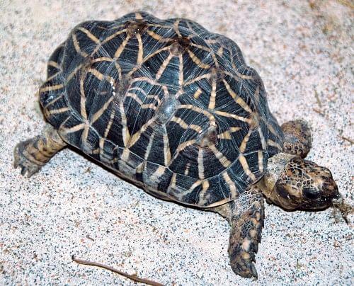 Indian Star Tortoise