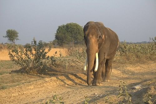 Suraj the elephant without one ear, walks free in the sanctuary