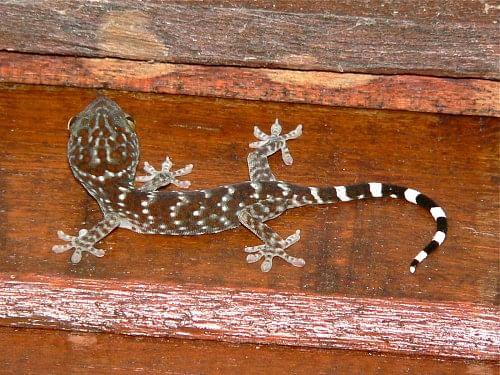 Juvinile Tokay Gecko