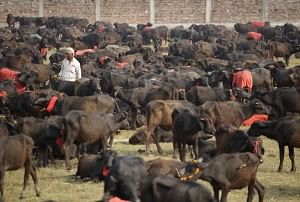 Every five years, the world's largest animal sacrifice takes place at the Gadhimai Temple in Nepal. The month-long festival has raised controversy due to the large number of animals killed – up to 500,000 over two days. This year, Humane Society International (HSI) successfully petitioned India's Supreme Court to stop animals at the border. In coordination with Animal Welfare Network Nepal, HSI sent a delegation to patrol the site and confiscate any animals brought in illegally. The team also met with Nepal's president and prime minister to discuss the situation. To date, more than 2,500 animals have been saved. In this photo, buffalos are collected at the pit at the Gadhimai Festival in Bara, Nepal on Thursday, November 27, 2014. (Kuni Takahashi/AP Images for Humane Society International)