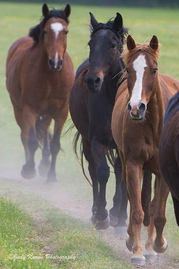 Black Beauty Ranch horses Horses running behind trailor