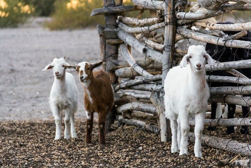 keywords: stock, goats, protect farm animals, companion Some goats from countryside of Salta Province, Argentina.
