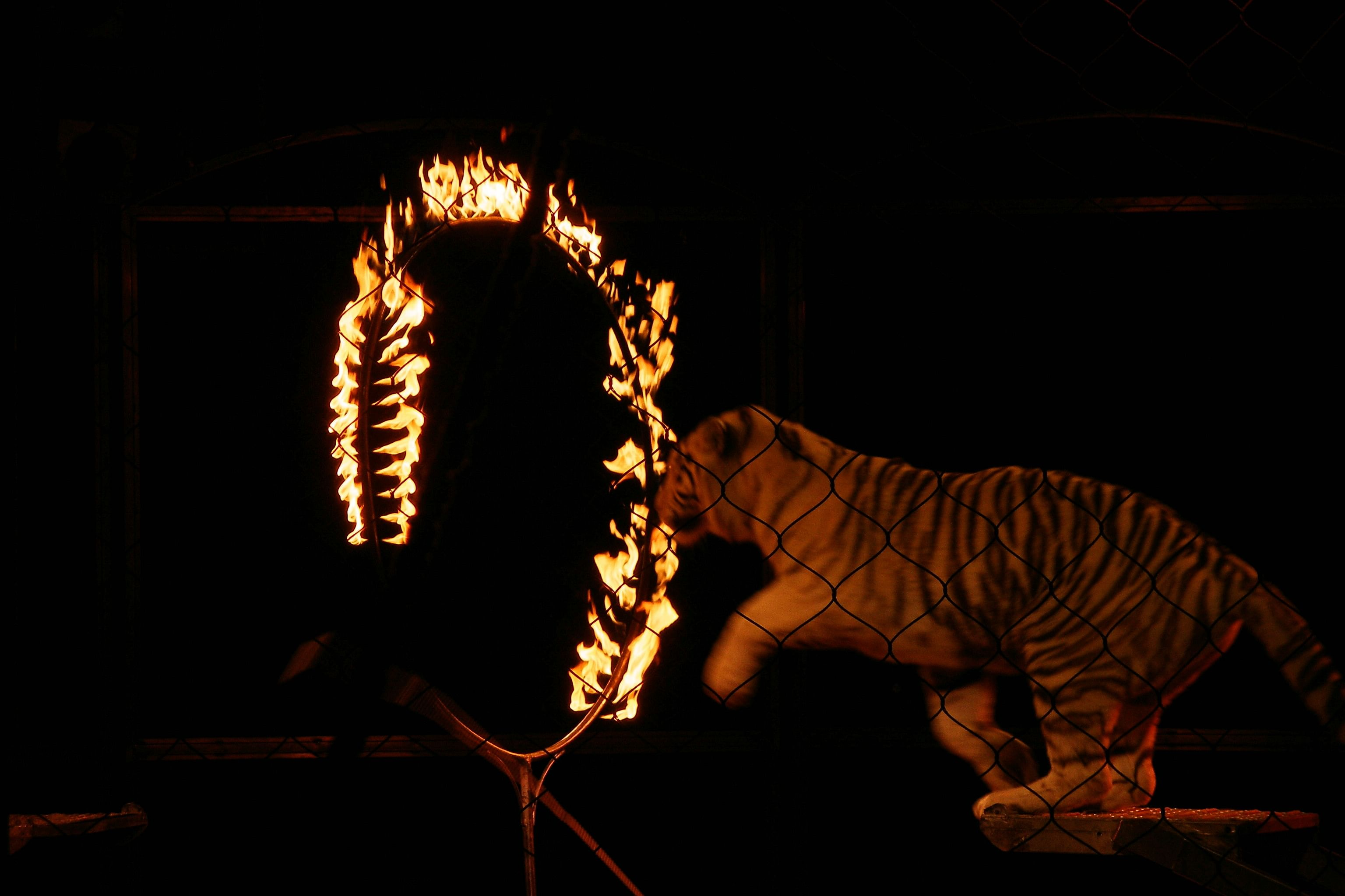 Keywords: CAPTIVE, stock, circus, tiger, performing, ring of fire, jumping through, wild animals in circuses, animal act, performance