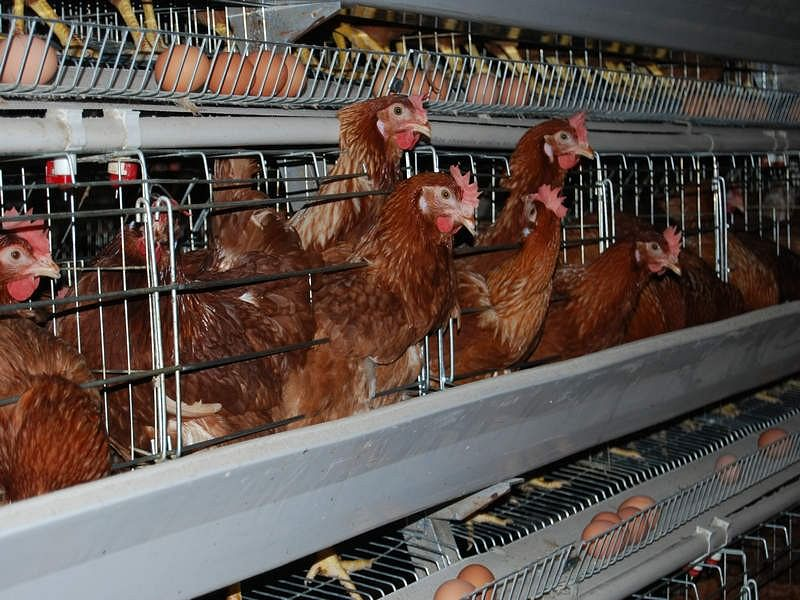 Hens packed in battery cages
