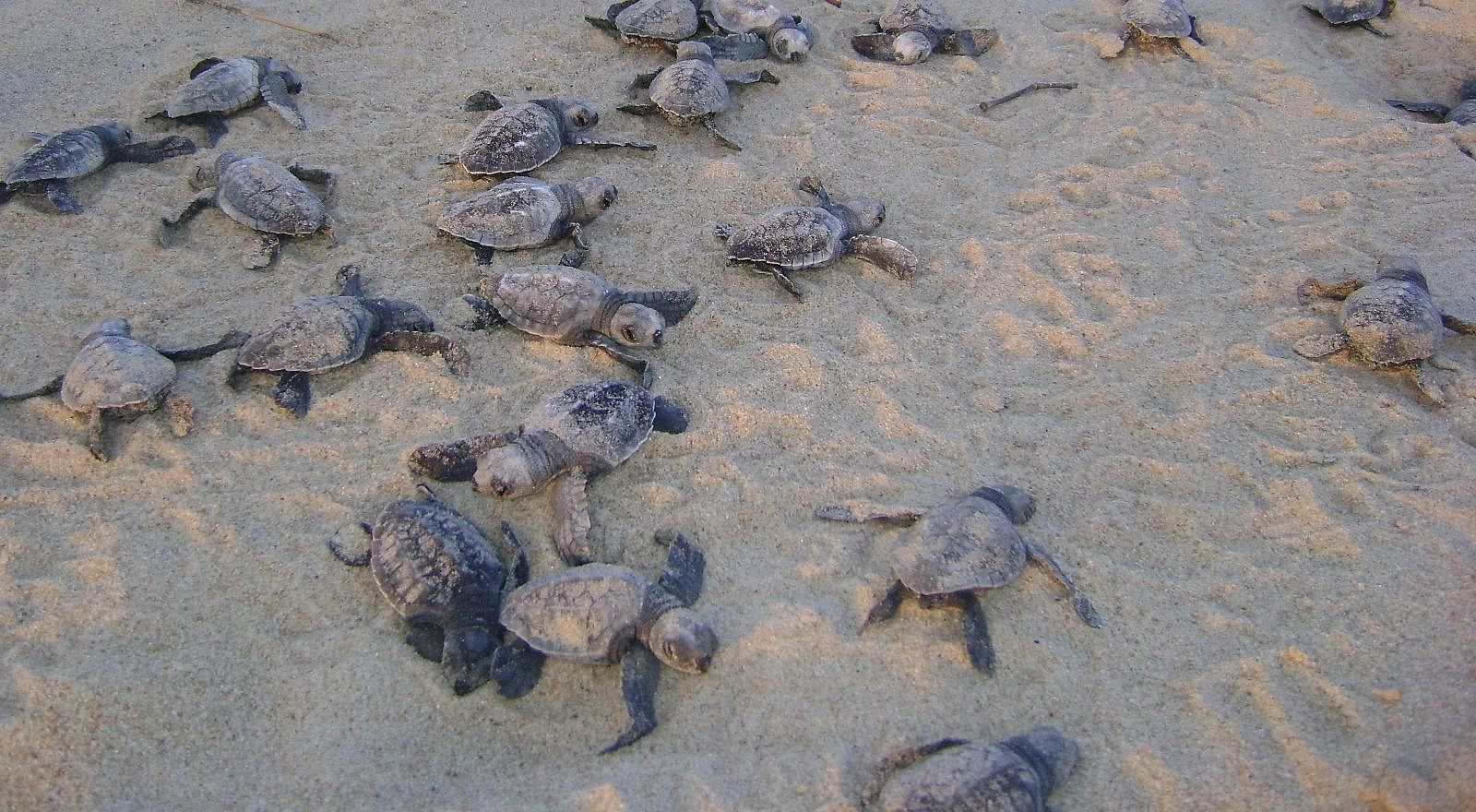 Hatchlings making a bee line for the sea waters