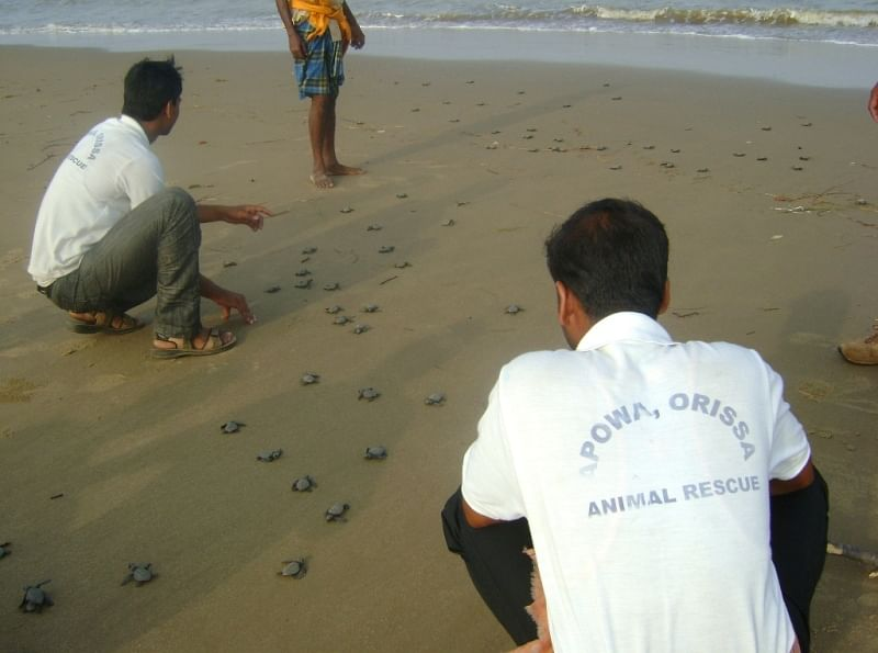 Under supervision, hatchlings safely get to the sea