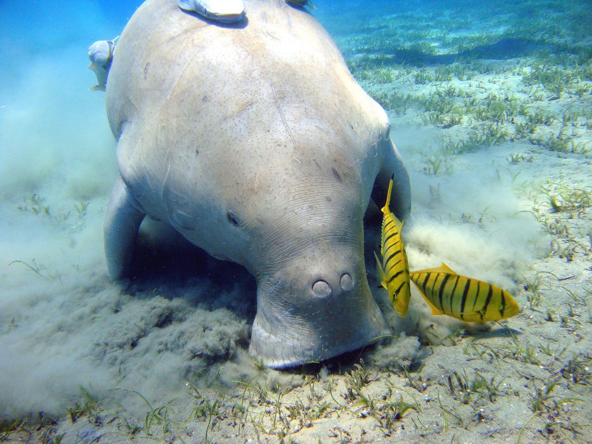 Dugong-–-The-unique-sea-cow-1