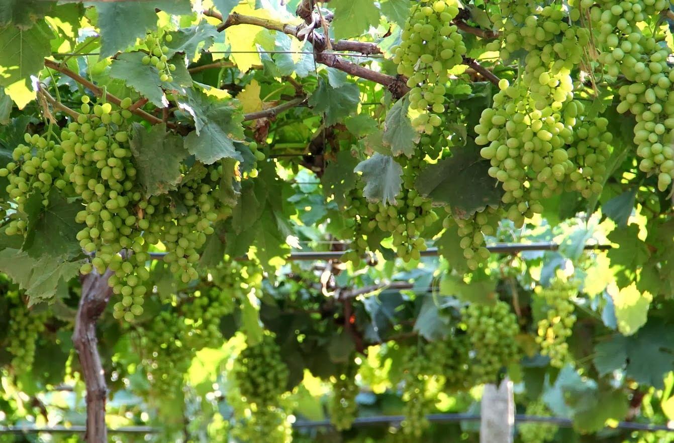 4268a-grapefarm