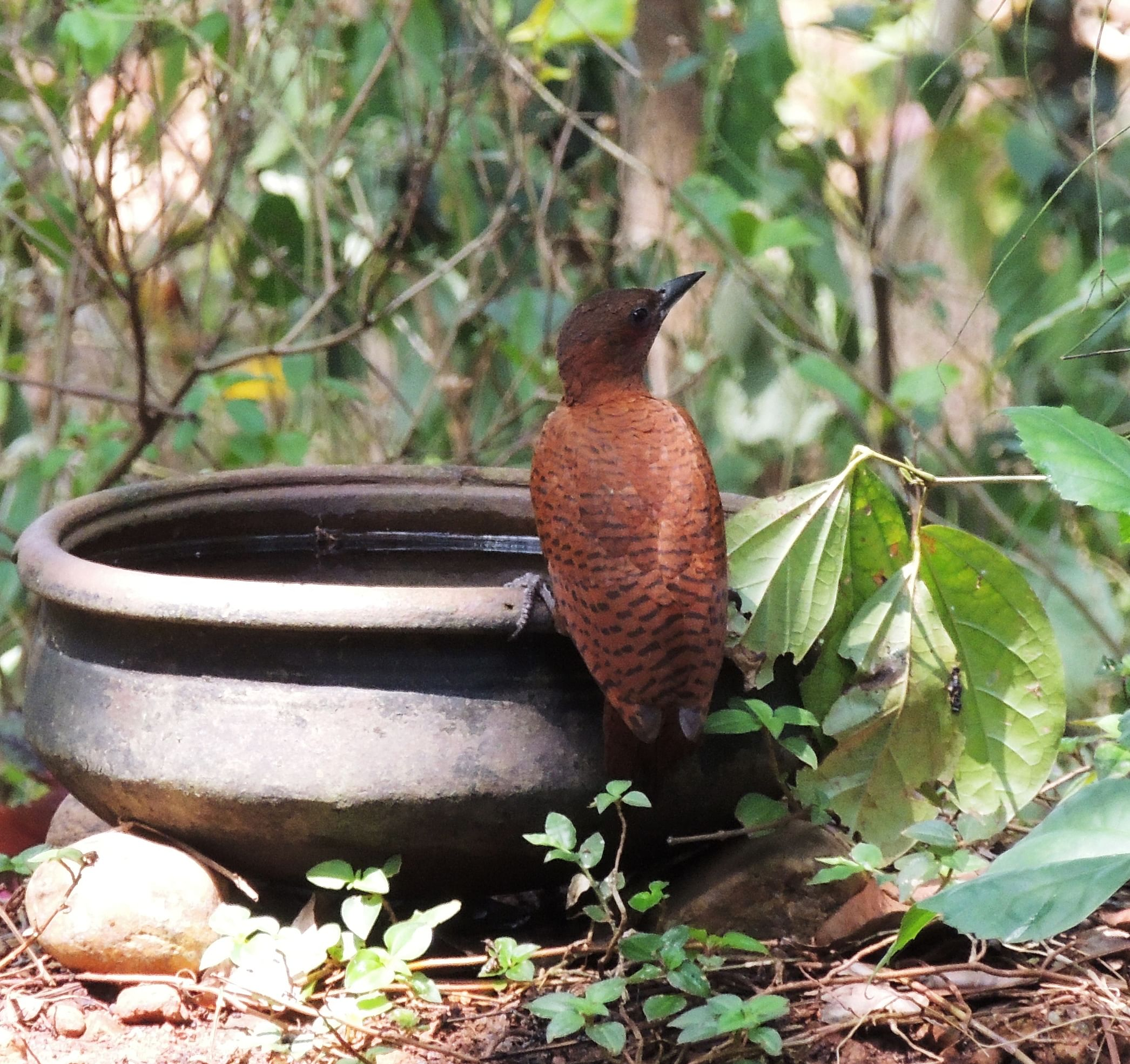 Water for birds in Hari and Asha's backyard forest
