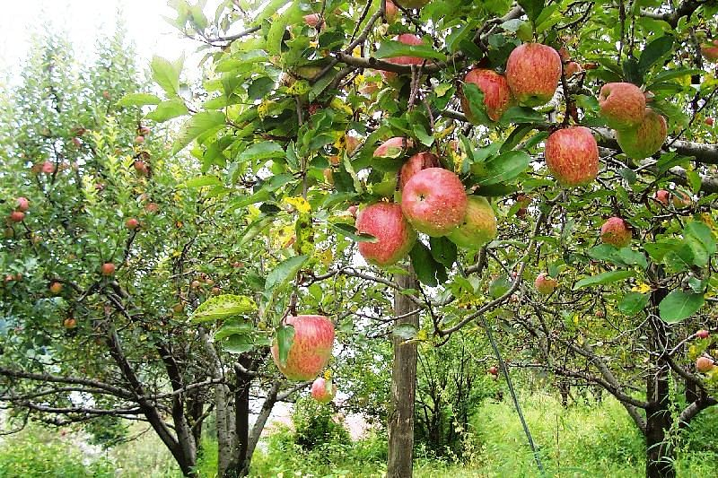 Himachal-apple-orchard
