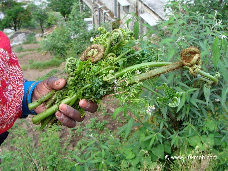 Lingda-Vegetable-of-Uttarakhand