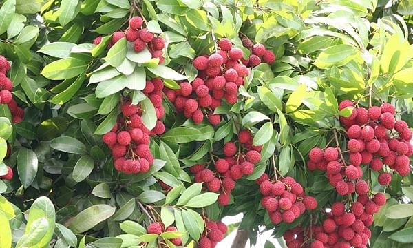 Litchi-Fruit-Farming