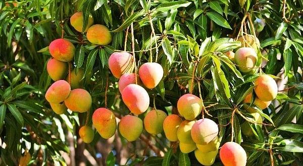 Mango-Farming-600x330