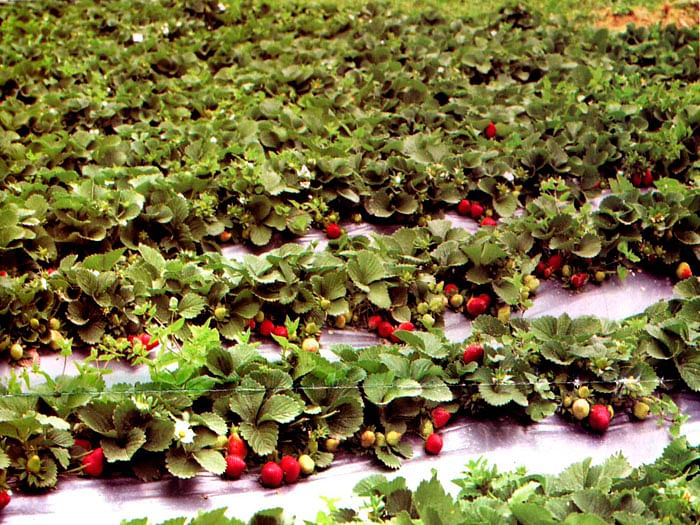 strawberry-farming