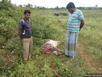 Farmer Mahadeva Gowda is seen standing next to the carcass of his cow, which was killed by a tiger in August 2015.