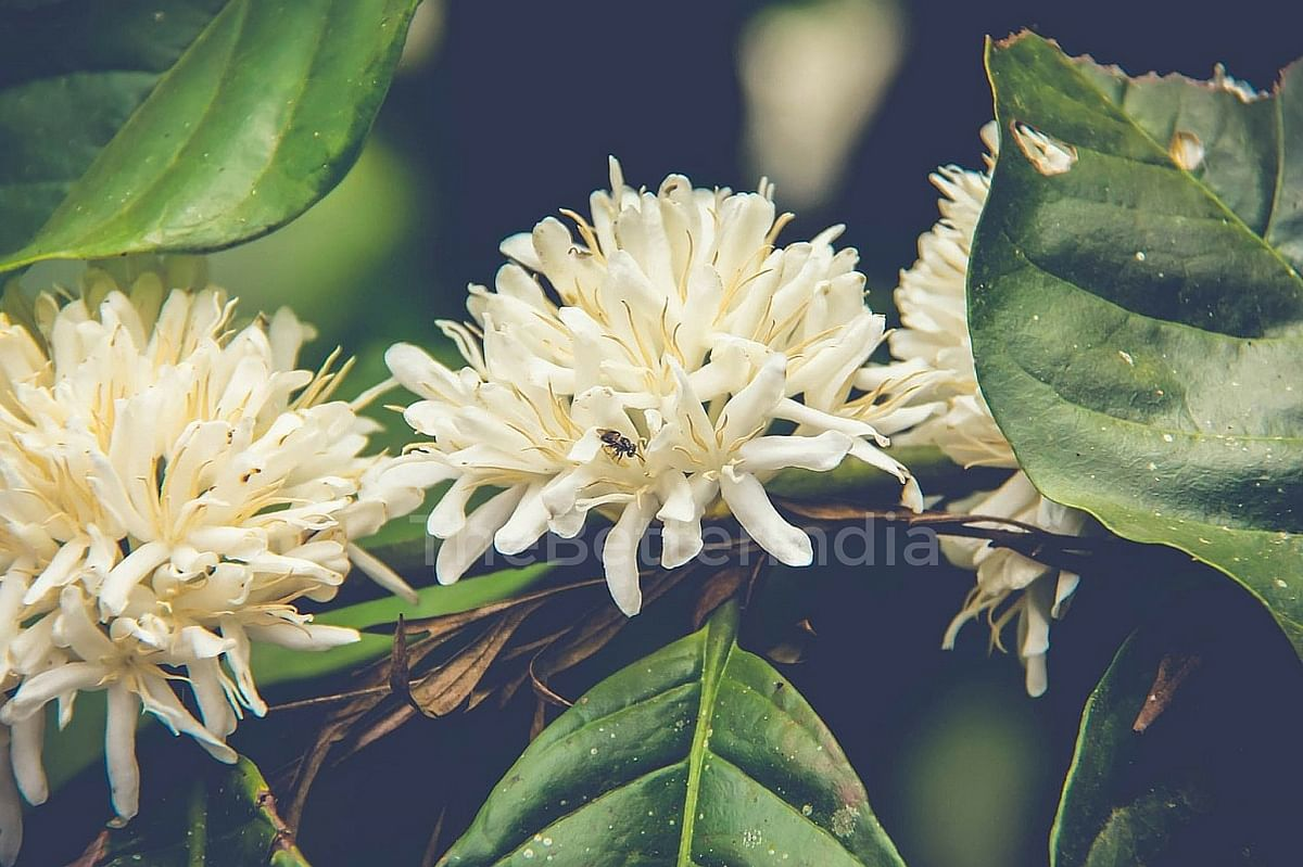 Bees Pollinate Coffee Flowers- Image Courtesy: Black Baza Coffee