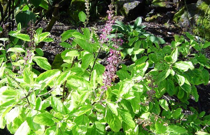 An-Ayurvedic-herb-Garden-at-home-Itoozhi-Ayurveda