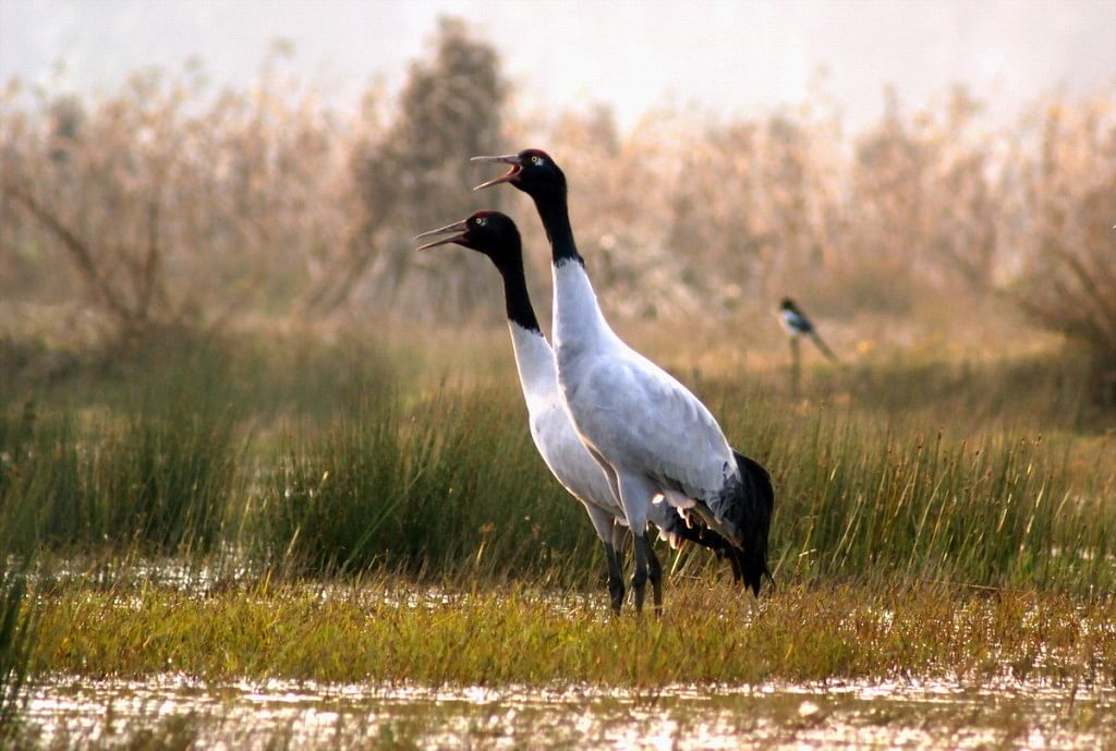 Black-necked-Cranes-Enjoy-Spring-Warmth-in-Tibet