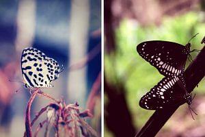 Butterflies FI