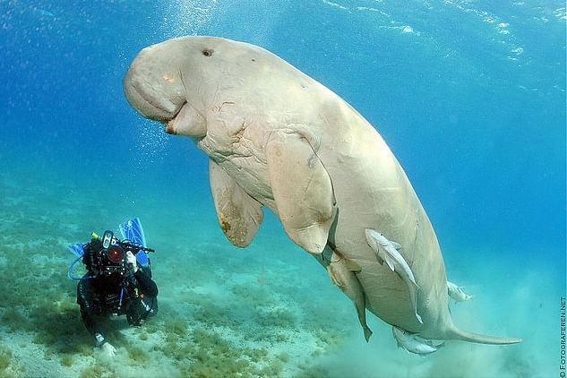 dennis-the-friendly-dugong-flickr-photo-sharing-google-chrome-16032014-20923-pm-bmp
