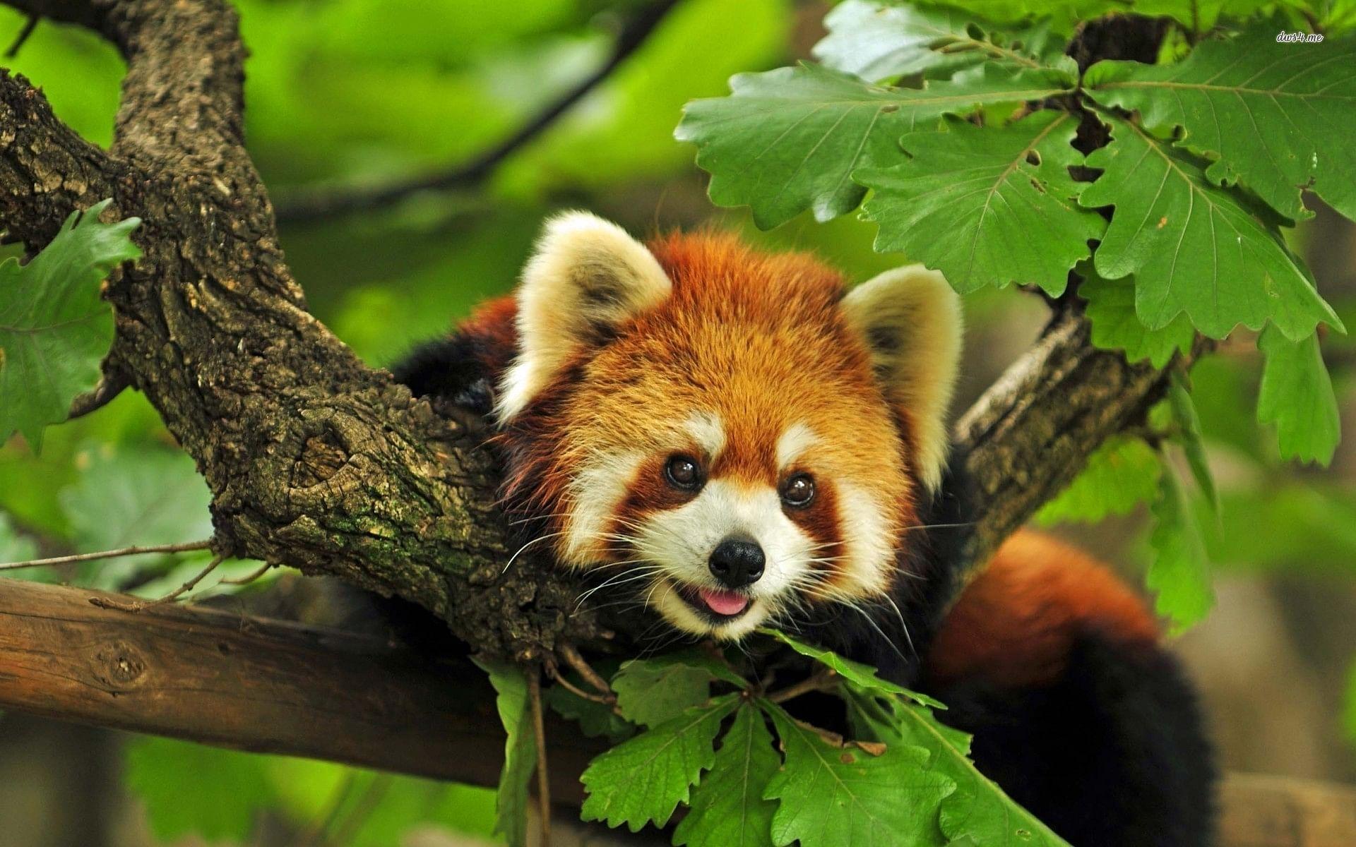 red-panda-3