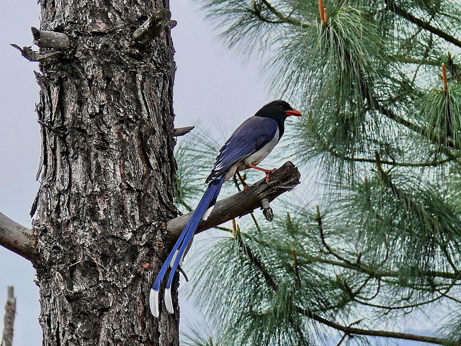 020-himalayan-magpie