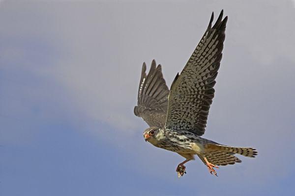 amur-falcon