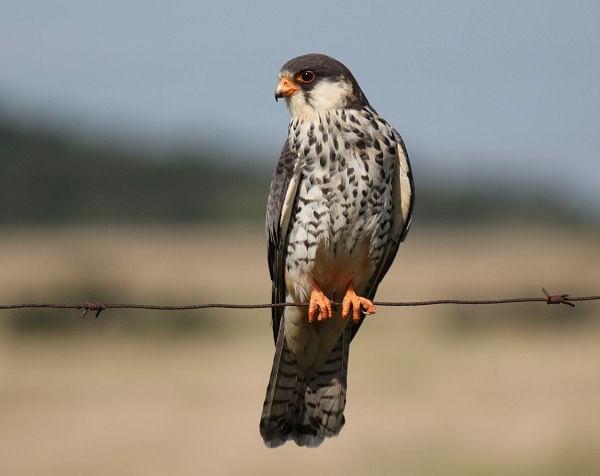 amur-falconfemale