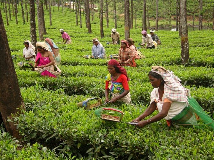 Tribal workers at the Priyadarshini Tea Estate