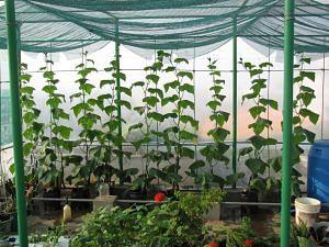 Cucumber plants in an urban garden