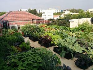 An urban garden growing vegetables