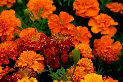 marigolds-740440_960_720