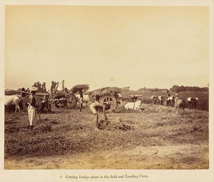 05-cutting-indigo-plant-in-the-field-and-loading-carts