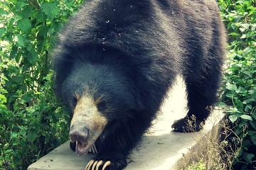 wild sloth bear